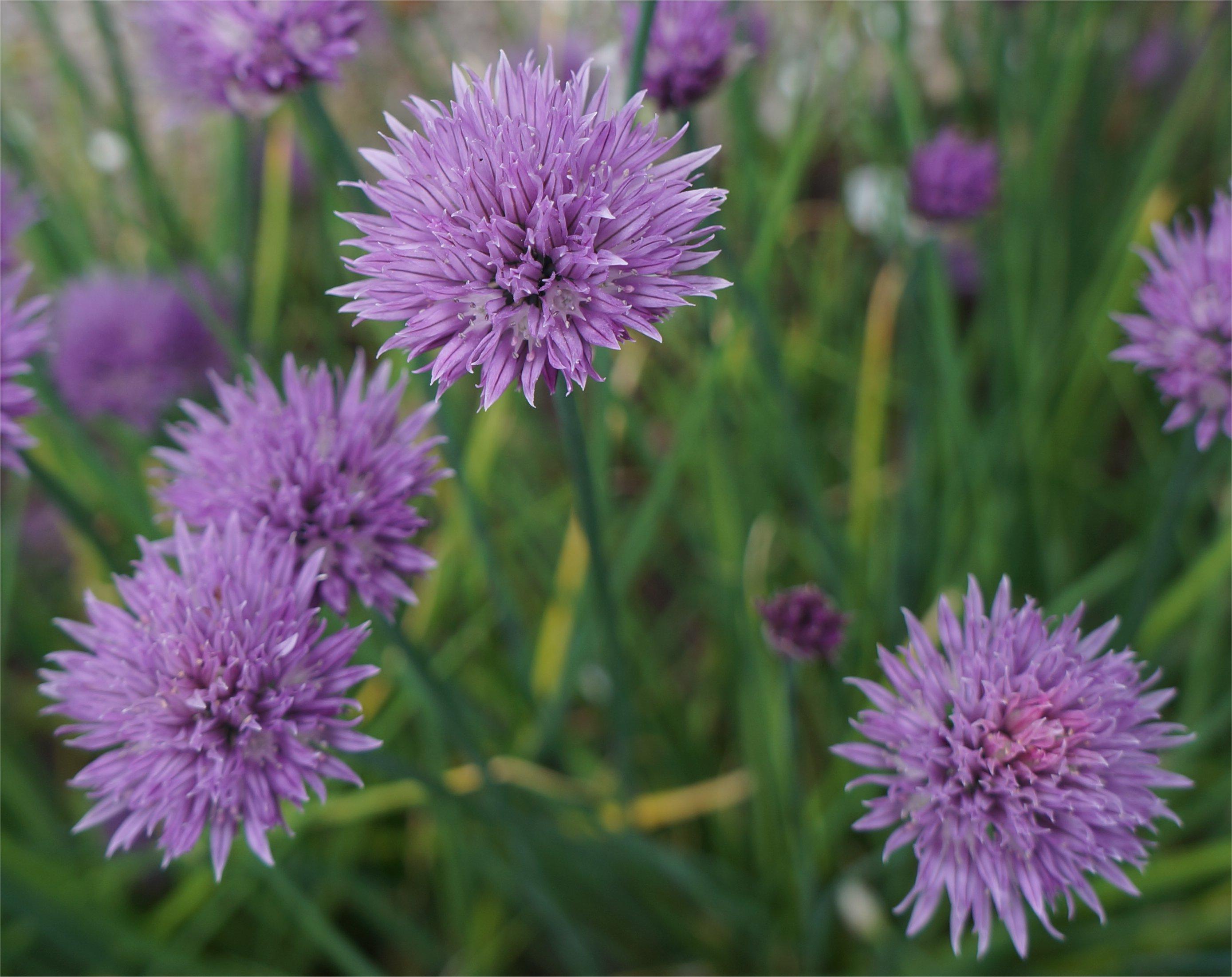 Afbeeldingsresultaat voor bieslook bloem